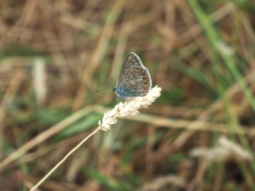 Male Common Blue (Polyommatus icarus), hiding the blue upper surface of his wings