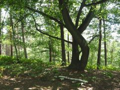 Hornbeam trees with character on a wooded ridge