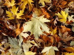 Maple leaves shed water from the smooth upper surface but the downy underside holds raindrops