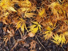 Feathery leaves from a golden Japanese maple