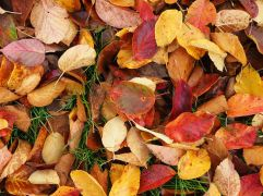 Re, yellow, purple and brown leaves from a Chonosuki crab apple tree (Malus tschonoskii)