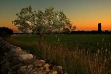 Olive trees, Istria