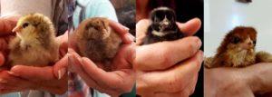 chickens_hatching_4-bar_newchicks_1260x451