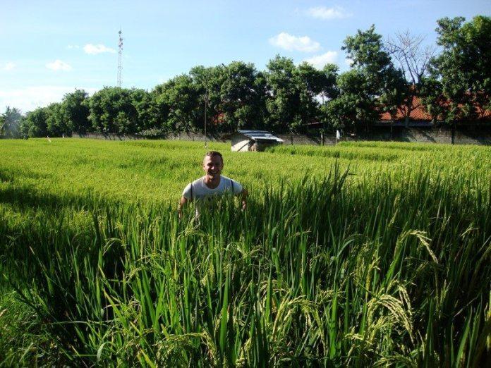 paddy fields rice fields ryzove polia bali