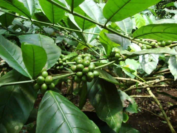Bali coffe kava