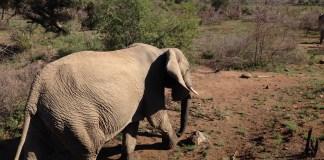 slony_v_afrike
