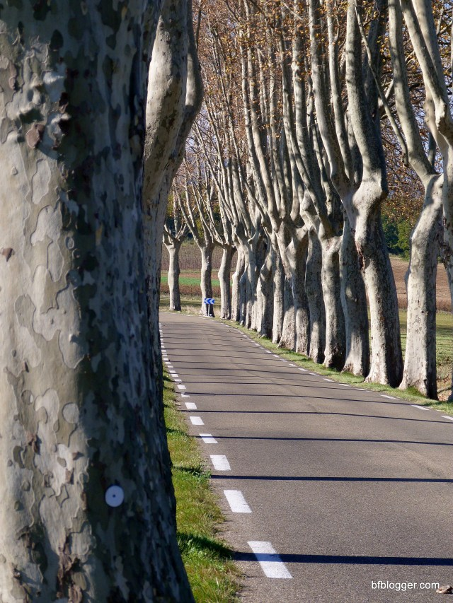 Plane trees Uzes France