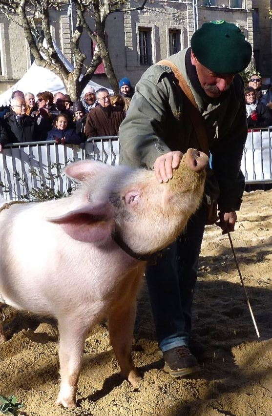 Truffle-hunting pig in Uzes