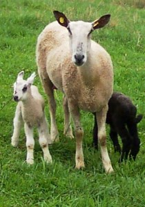 Bluefaced Leicester ewe and twin lambs
