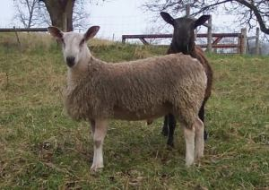 bluefaced leicester rams