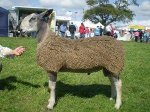 Grugoer B1 Welshman lamb