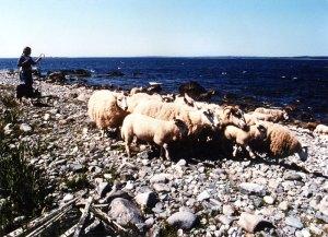 Anne Priest hearding sheep on McNutt's Island beach