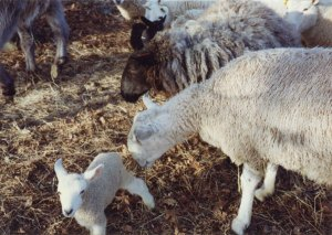 """""""Barney,"""" Anne's first BFL ram from Nova Scotia. """"He liked his lambs; he was always very interested in his lambs."""" New York farm, February 1993."""