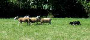 Rye driving the ewes (1)