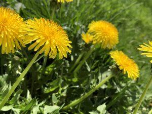 Zu den Kraftpflanzen des Frühlings