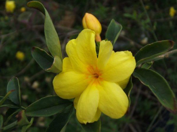 Цветок домашний жасмин фото – уход в домашних условиях ...