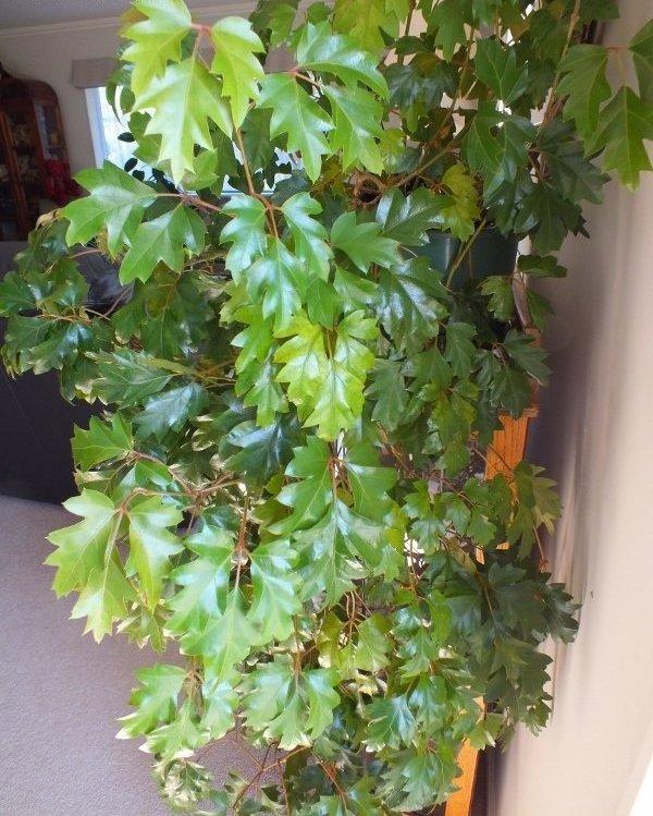 Березка комнатная уход – Циссус или комнатный виноград ...