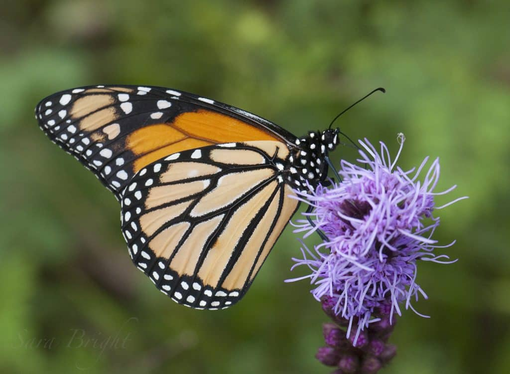 "Love butterflies? Make a difference this weekend. Purchase ""butterfly plants""  for your garden"
