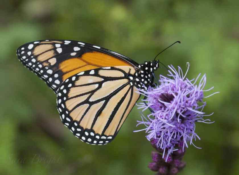 Monarch - Photo by: Sara Bright