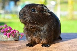 guinea-pig-518266__180