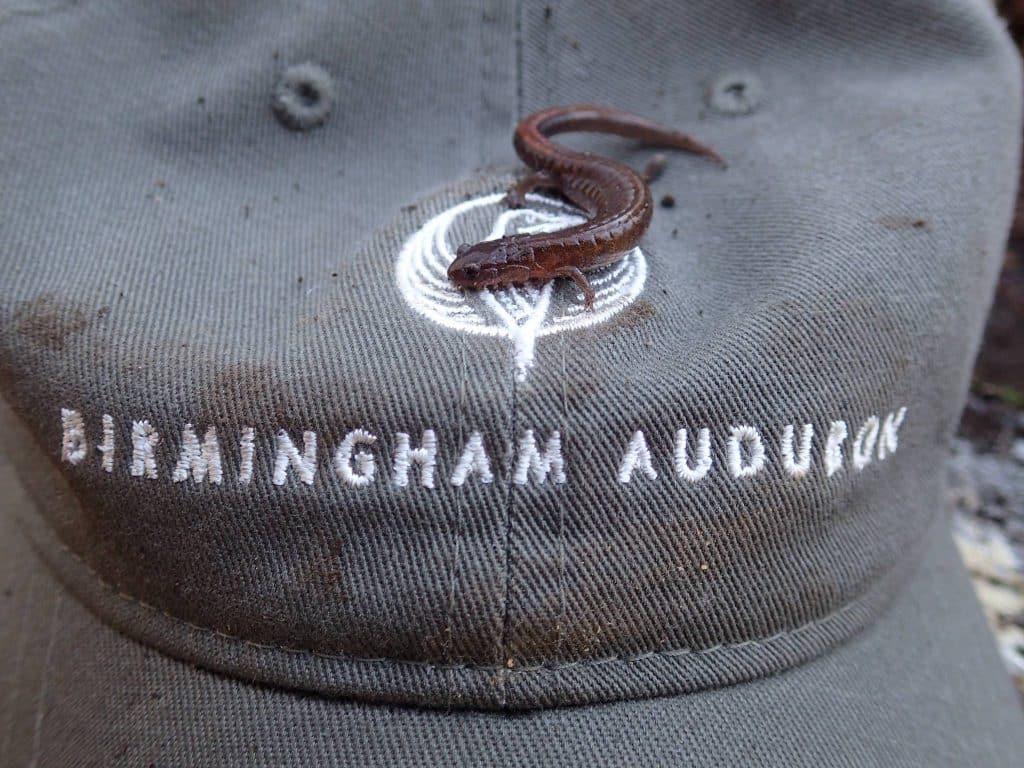 Christmas bird & salamander counts – an old and new Birmingham Audubon tradition