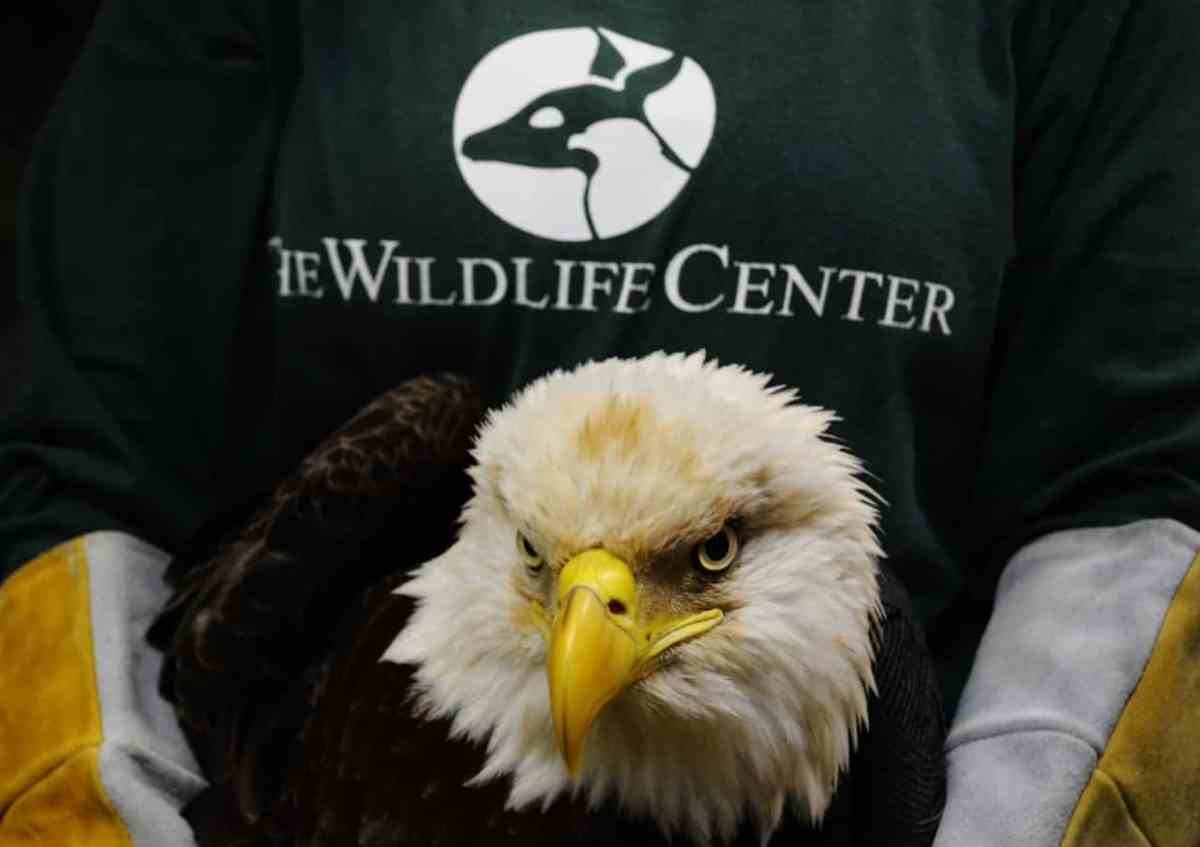 Rock stars – Bald Eagles and Eurasian Eagle Owl to make the Alabama Wildlife Center a major destination for bird lovers