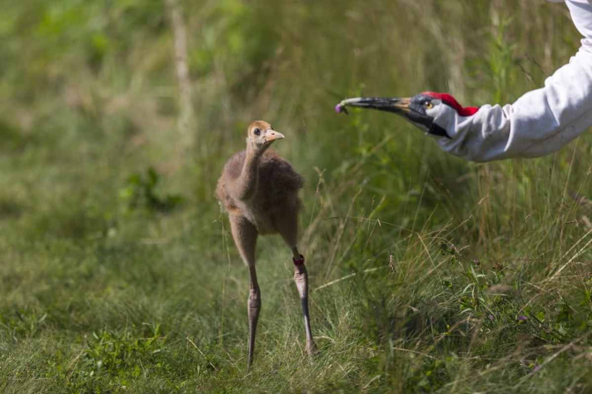Bama Bound: Whooping Cranes are coming home for the winter