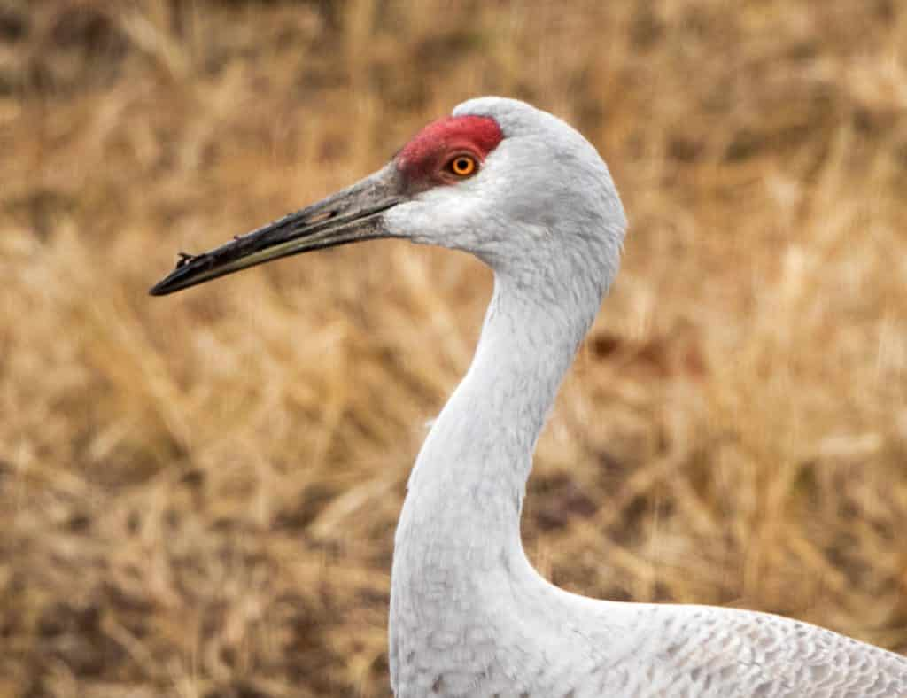 Despite federal shutdown, the 2019 Festival of the Cranes at Wheeler NWR is ON (Photos)