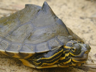 Barbours Map Turtle - 51% of North America's freshwater turtles are found in Alabama