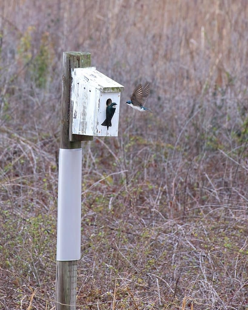 Rare (in Alabama) Tree Swallows make Limestone Park their home