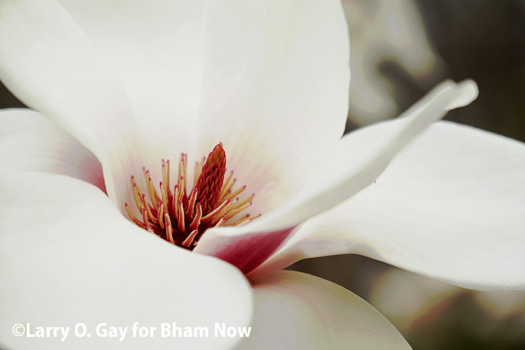 "Early Spring: beautiful photos of the Birmingham Botanical Gardens ""blooming"" by Bham Now's Larry O. Gay"
