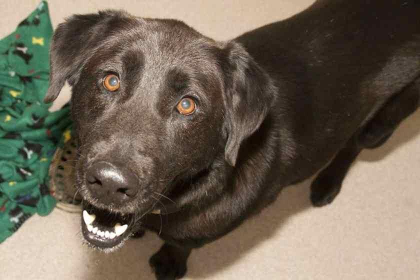 Buster Birmingham AL Greater Birmingham Humane Society