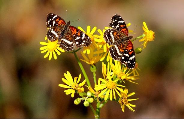 Alabama Butterfly Atlas - Texan-Crescent