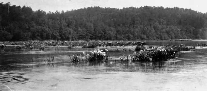 Cahaba Lily Black Warrior River