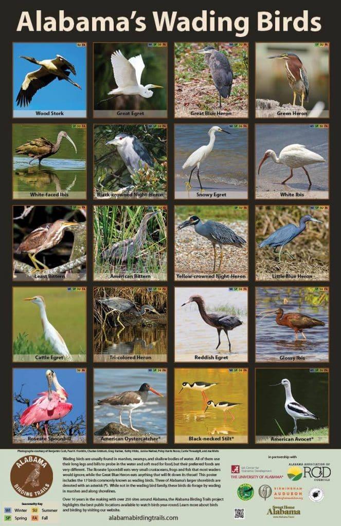 Wading Birds of Alabama Poster