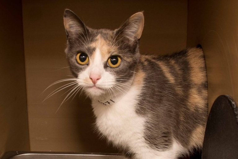 Adorable and Adoptable Pet of the Week: Lucy Birmingham AL Lucy the Calico