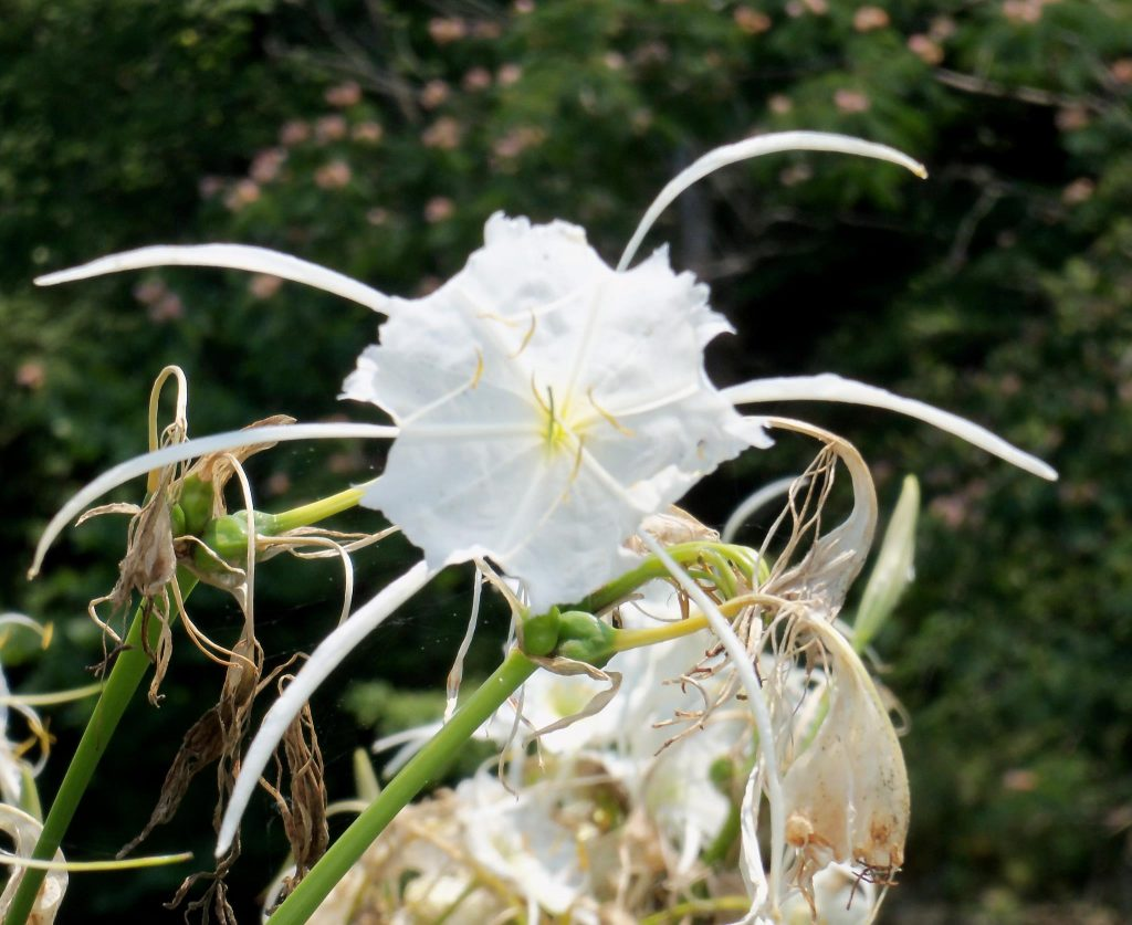 """Bham Now's Nature Roundup – """"Cahaba lily"""" edition – June 2nd"""