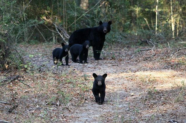 Auburn University study shows growing bear population in ...