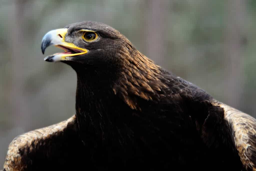 Will Letson the Golden Eagle make it to the Iron Bowl?