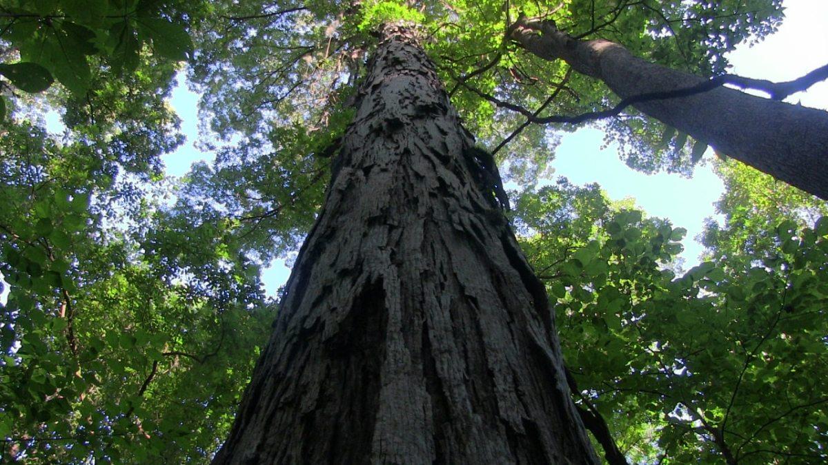 Alabama tree