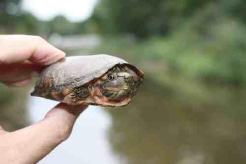 Birmingham turtles