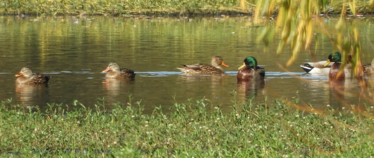 Wheeler NWR – Penny Bottoms/Blackwell Swamp/Rockhouse/Buckeye (NABT #26)