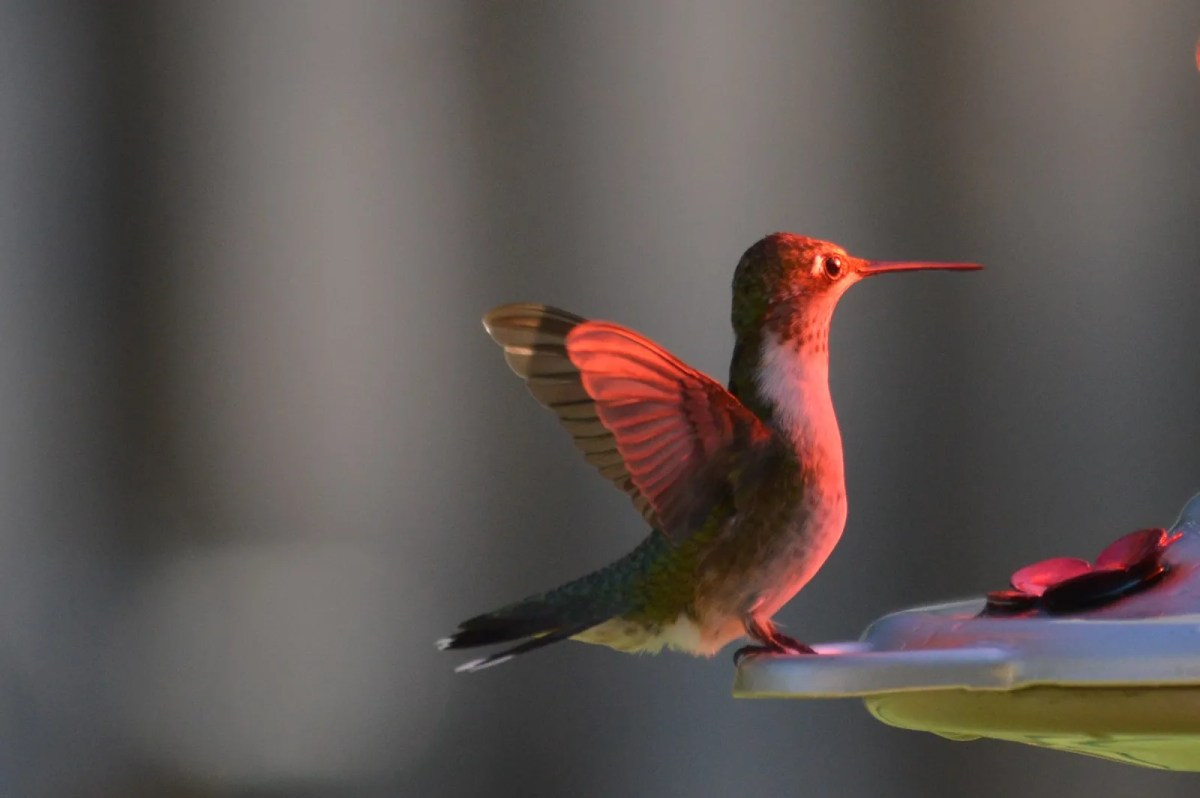 Feed Hummingbirds for their Winter trip . . . and encourage them to come back next Spring