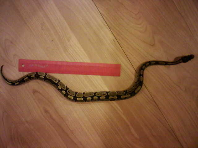 Birmingham, snakes, missing snakes, ball python, missing pets, python