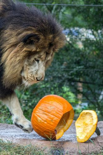 Birmingham, Birmingham Zoo, pumpkins, trick or treat, Halloween, Boo at the Zoo, October