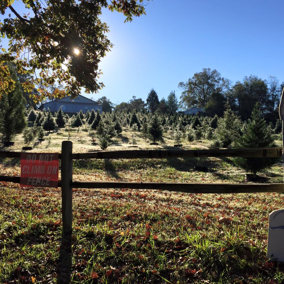 4 Christmas tree farms an hour's drive or less from Birmingham, plus local lots