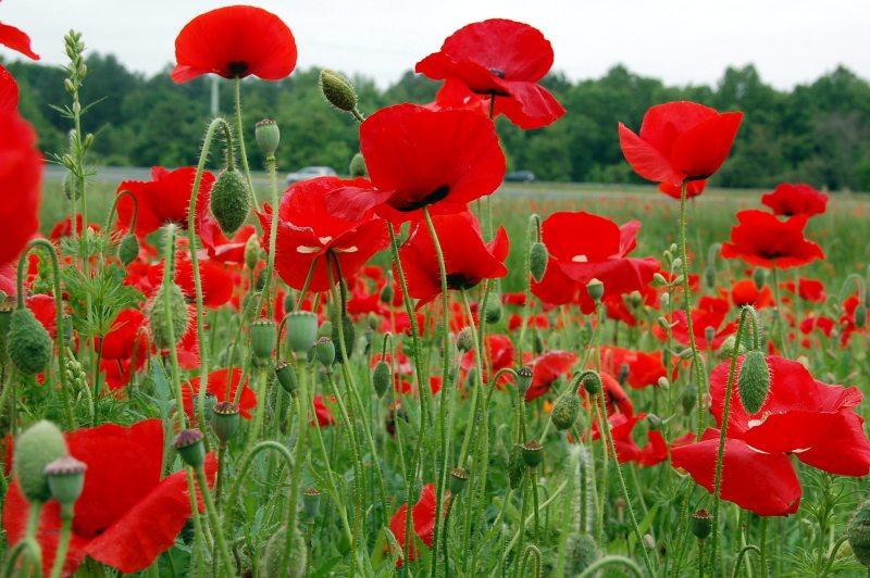 Opioid crisis in Birmingham: poppies