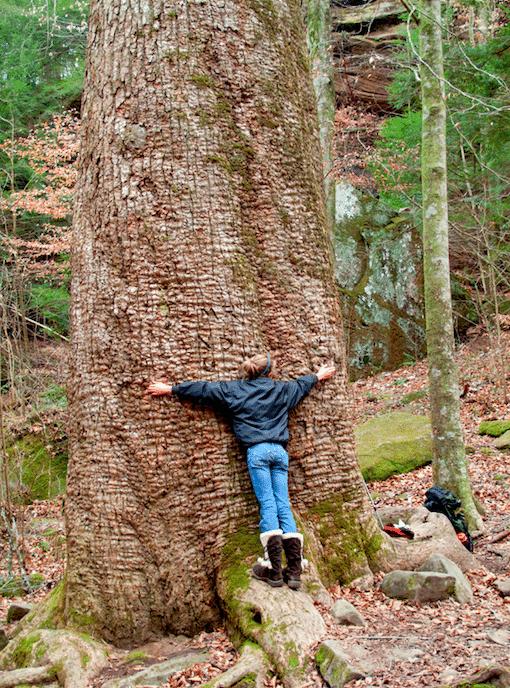 Sipsey Wilderness Big Tree