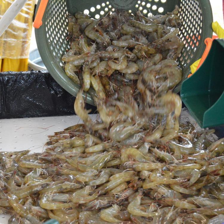 Photo of a basket full of raw Sumter County Shrimp being poured into a bin