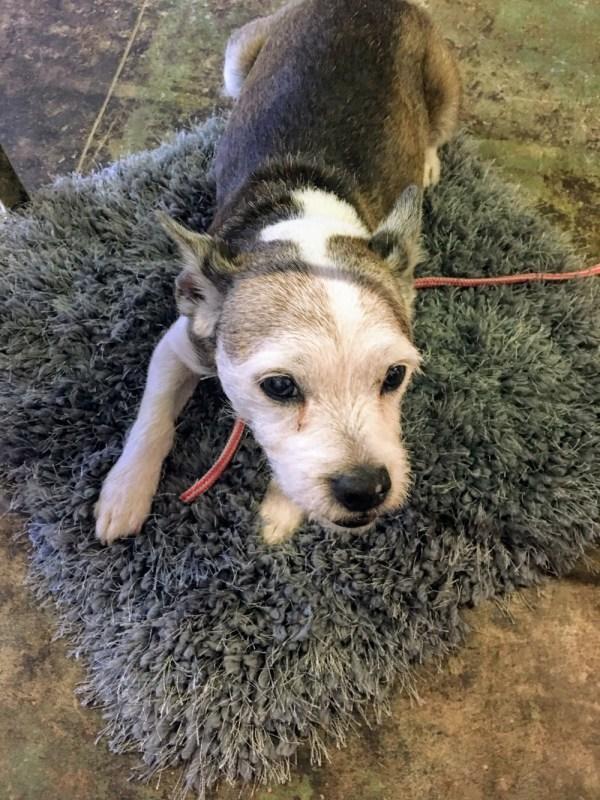 Mack the shop dog is a staple at Soho Retro.